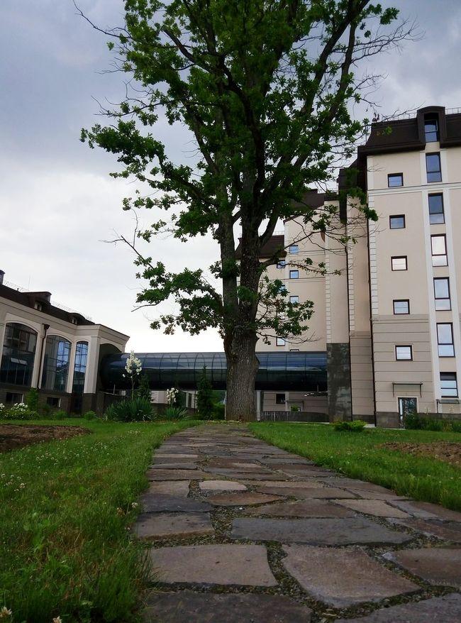 Oak Tree Zakarpattia