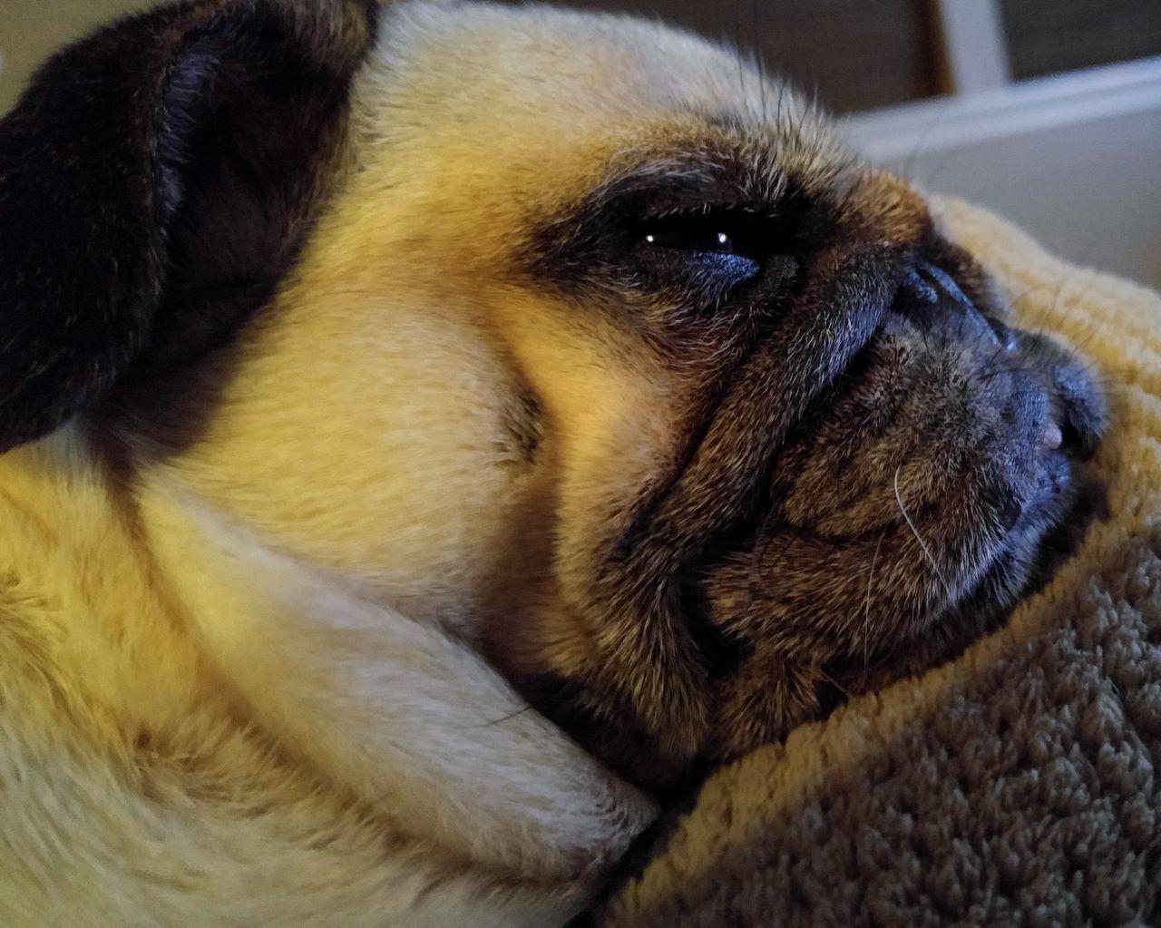 Beautiful stock photos of pugs, Animal Themes, Bed, Close-Up, Dog