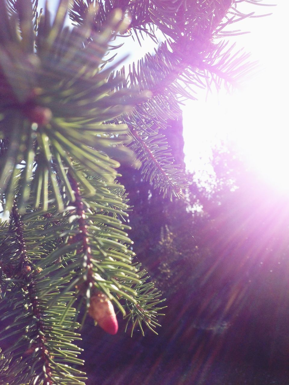 growth, nature, tree, lens flare, close-up, sunlight, no people, beauty in nature, christmas tree, needle - plant part, day, green color, branch, plant, leaf, outdoors, freshness, needle, spruce tree