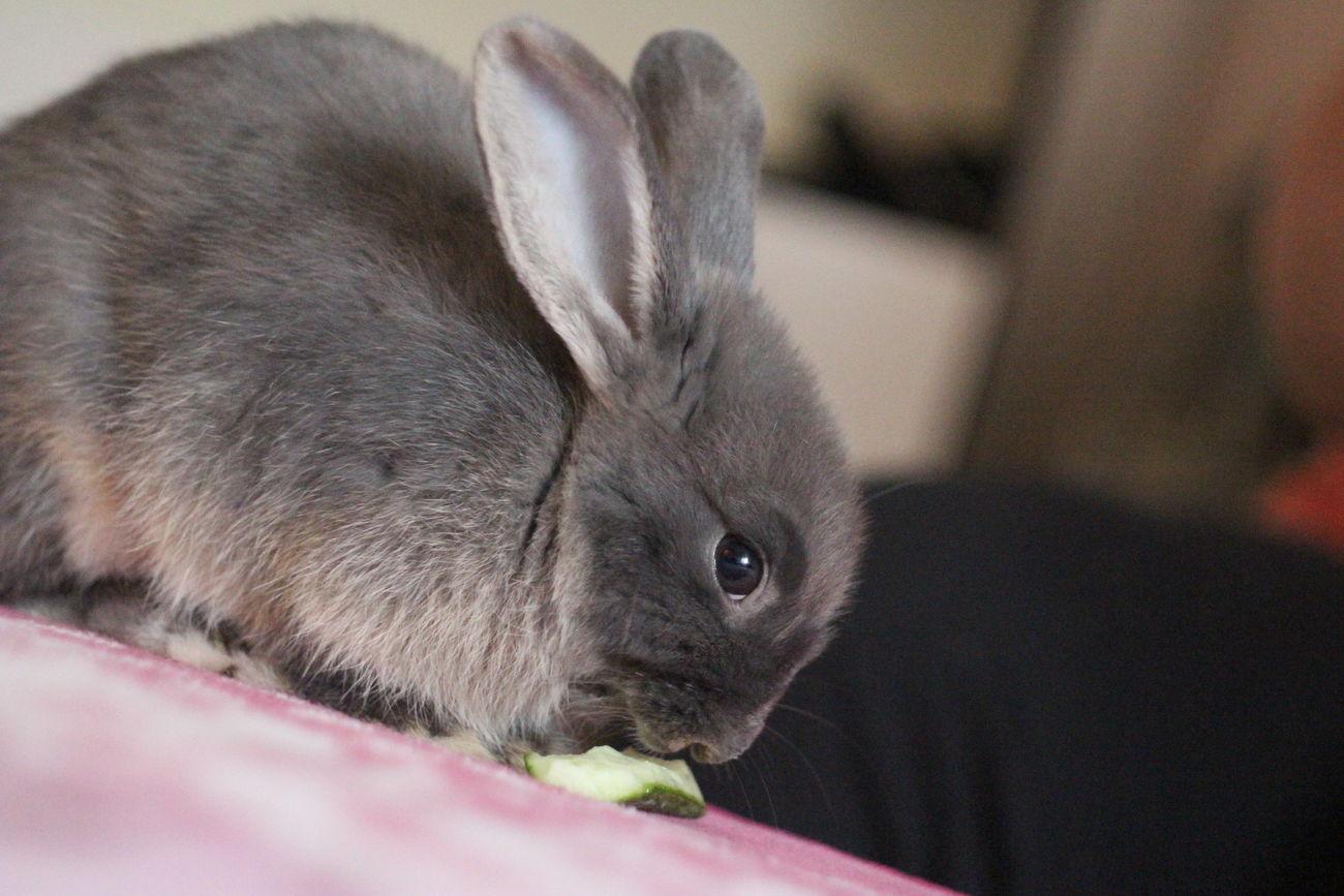 Animal Themes Close-up Day Domestic Animals Indoors  Mammal No People One Animal Pets Rabbit ❤️ Rabbits 🐇 Siamese Cat
