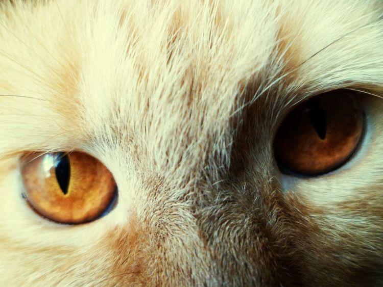 Kiara Cat♡ Cat Lovers Feline Friend Gata Yellowcat Cateyes