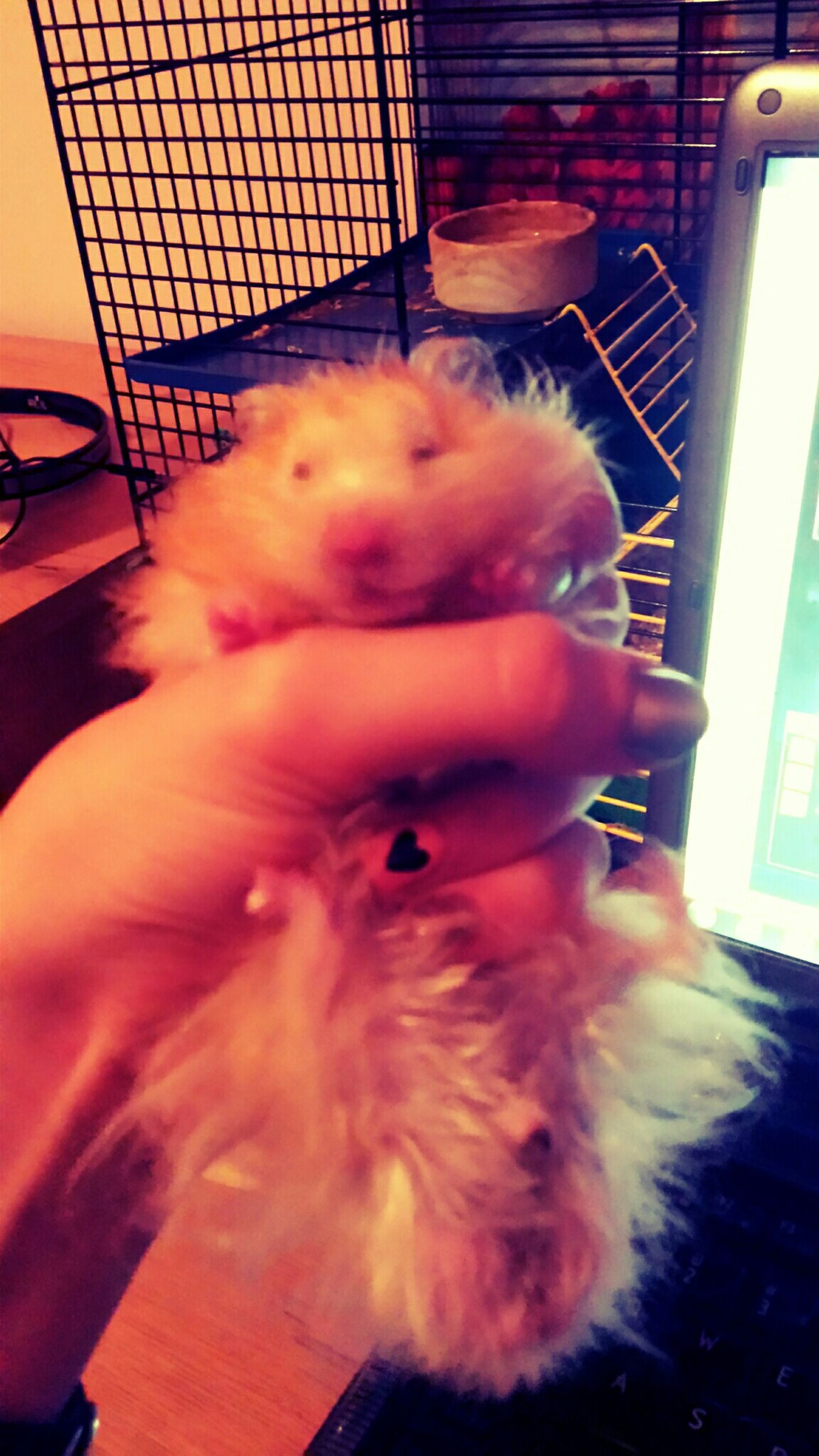 Hamster Gruby Fascinating Lovely Cute Pets