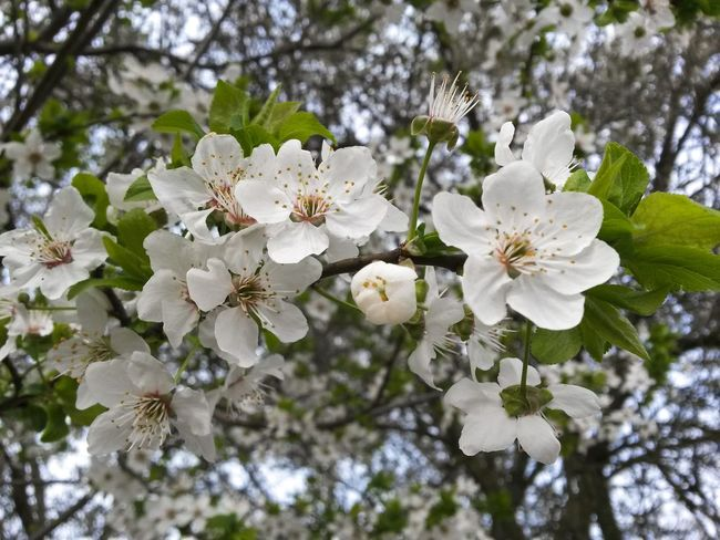 White Color Growth Flower Nature Plant Springtime Beauty In Nature Flower Head Tree Close-up No People Almond Tree Blossom Outdoors Day Branch Fragility Freshness Nature Photography Mothernature Natureporn Tree