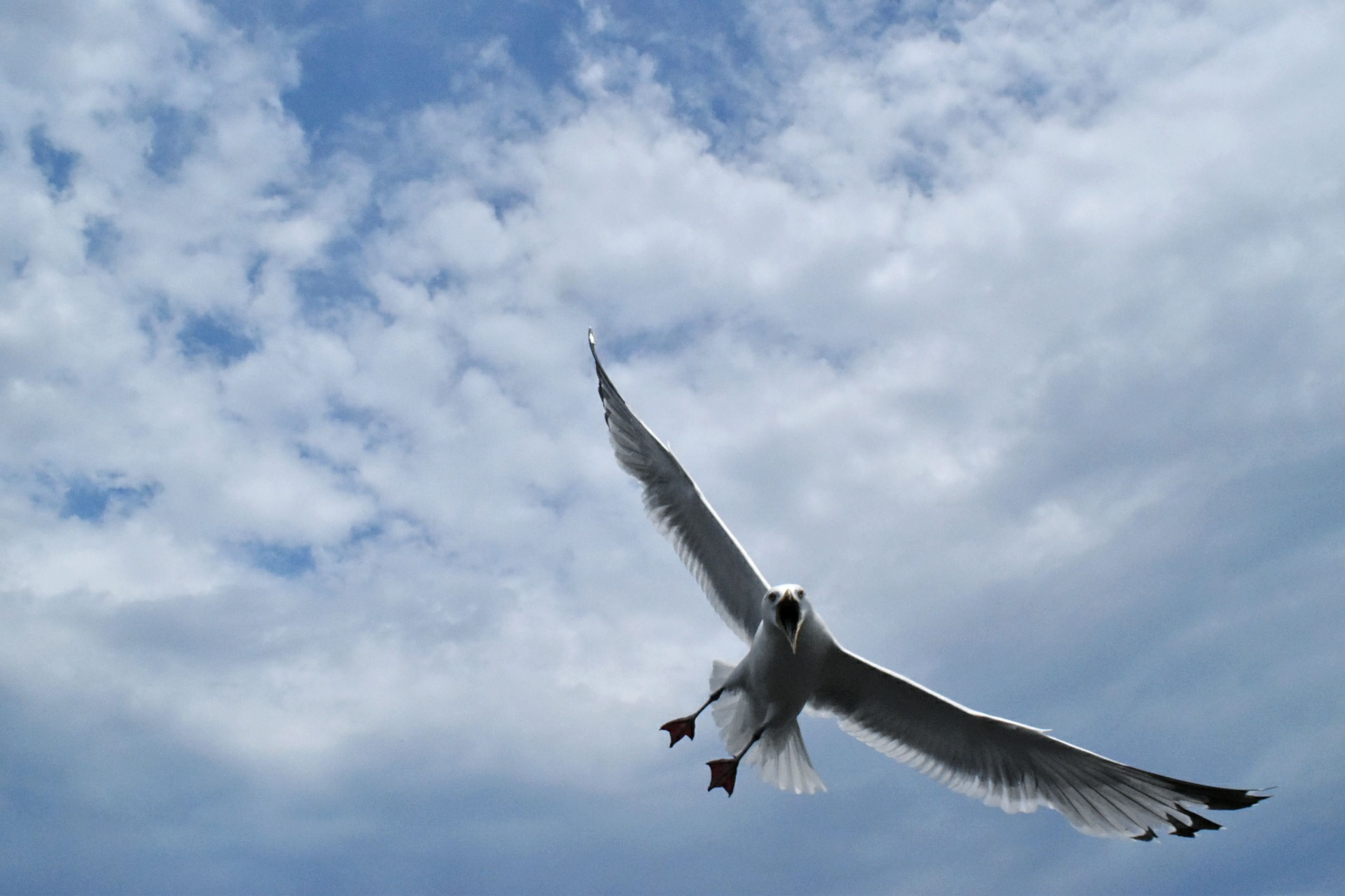 flying, spread wings, bird, cloud - sky, one animal, sky, animal themes, day, low angle view, animals in the wild, mid-air, nature, seagull, no people, outdoors, close-up