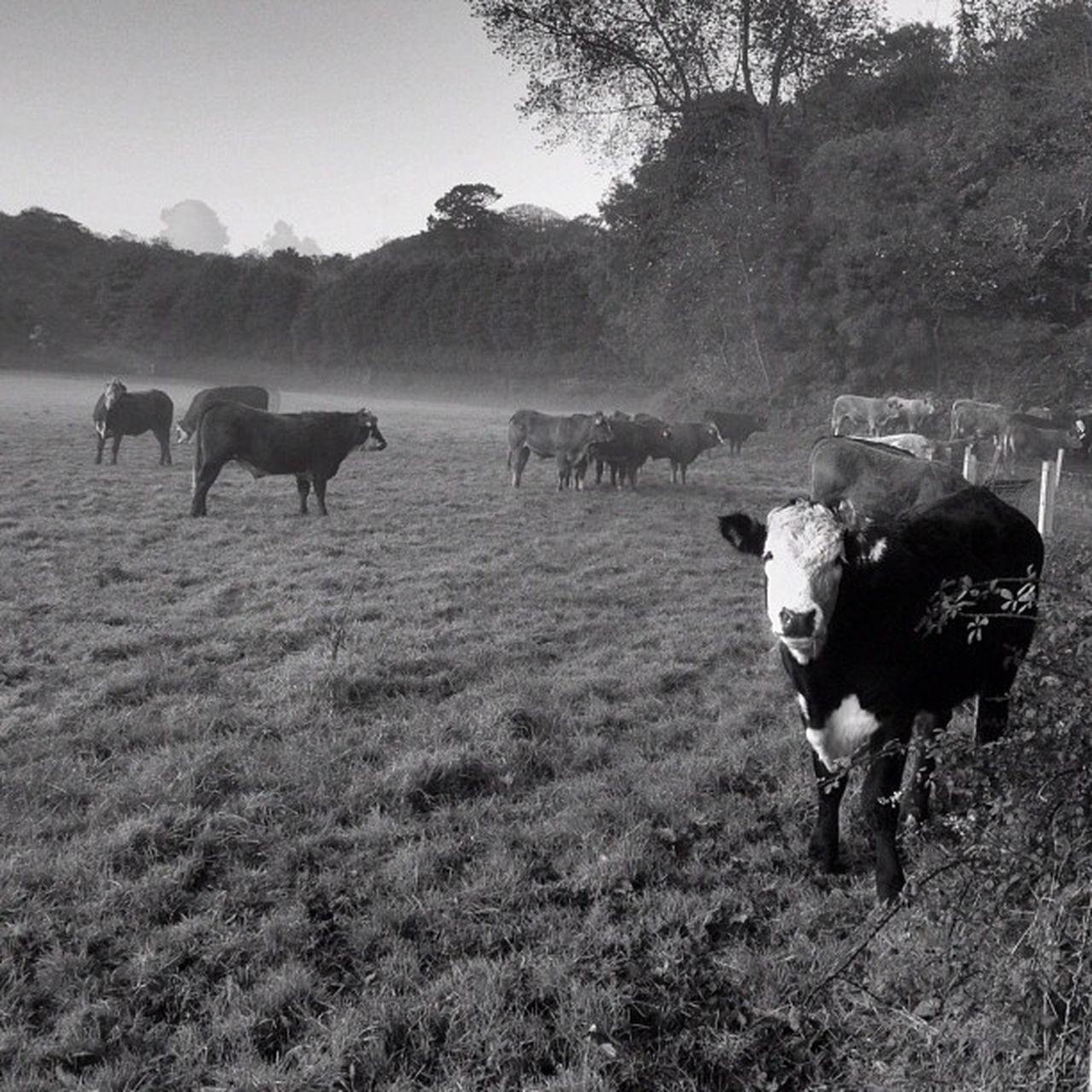 #cow #improvedimage #field #blackandwhite Blackandwhite Field Cow Improvedimage