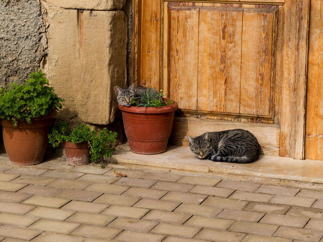 Cats enjoying the sun at Batea Building Exterior Cats House Plant Pets Pot Plant Potted Plant Sleeping Cat Sleepy Time Village Life