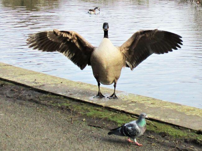 Animal Themes Animal Wildlife Bird Canada Geese Geese Goose Lake Nature No People Outdoors Spread Wings Water Water Bird Wings Spread Wingspan