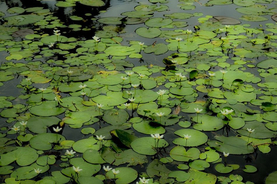 Colors And Patterns Water Lilies. Lilly Pads. Floating On Water Nature Water Lily Pond Aquatic