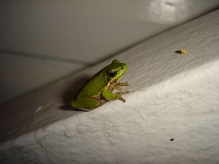 Amphibian Animal Wildlife Animals In The Wild Close-up Day Green Color Indoors  No People One Animal Tree Frog