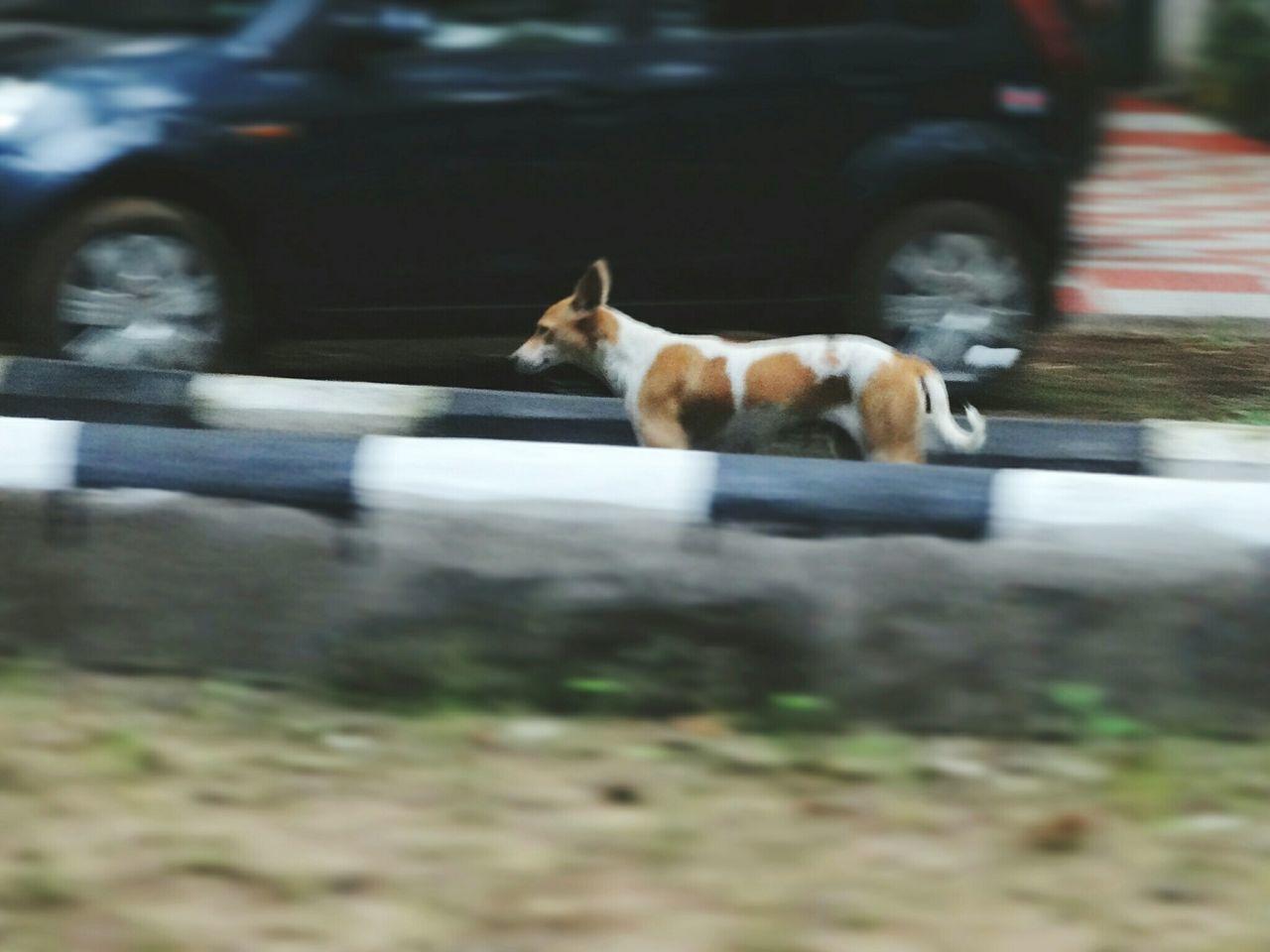 Dog Walking On Street Against Car