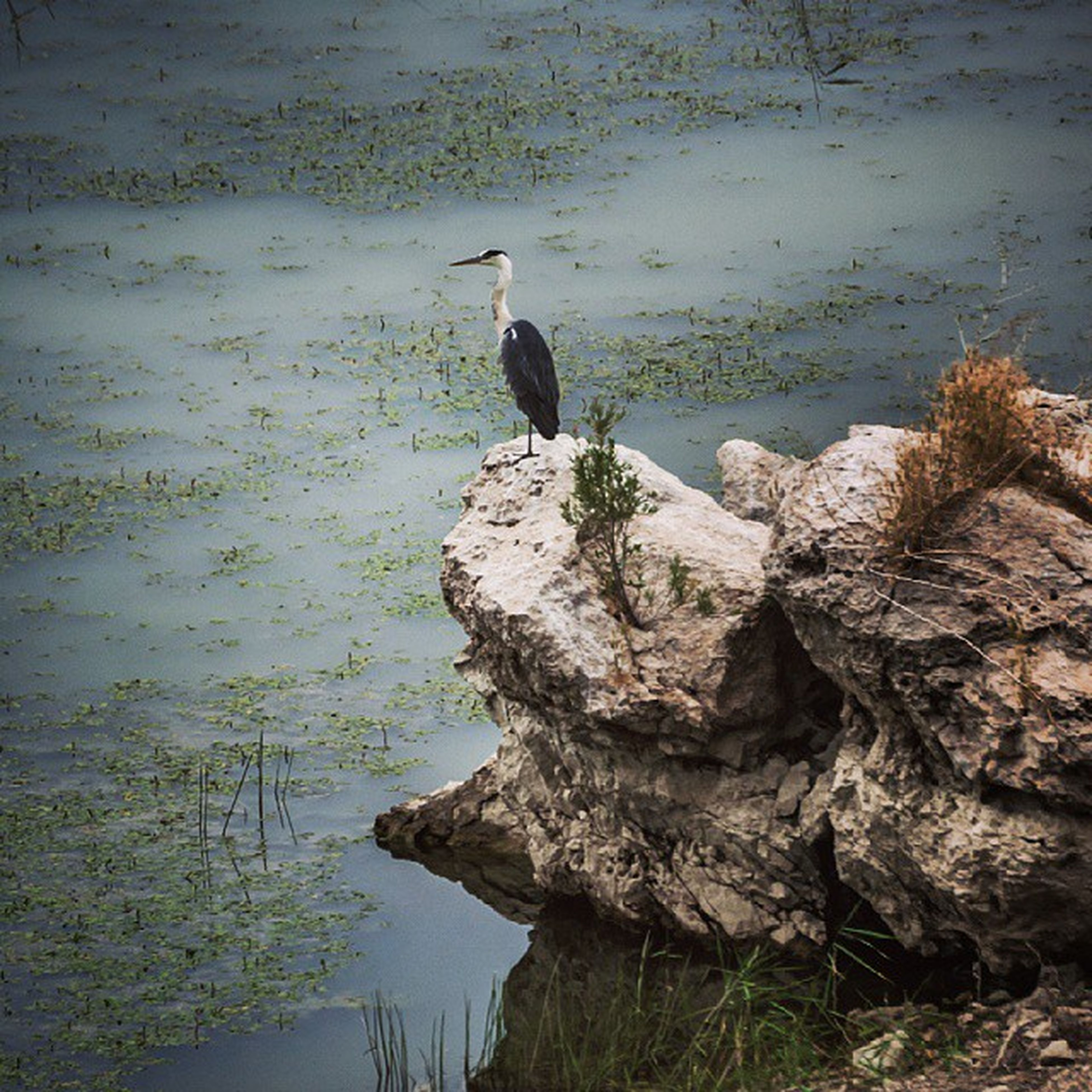 animal themes, bird, animals in the wild, water, wildlife, one animal, lake, nature, duck, full length, perching, reflection, tranquility, rock - object, day, outdoors, beauty in nature, side view, no people, standing