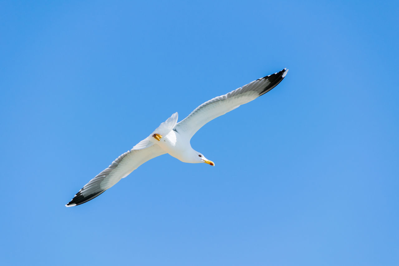 flying, spread wings, bird, animals in the wild, one animal, copy space, animal themes, low angle view, clear sky, blue, animal wildlife, mid-air, day, seagull, no people, outdoors, nature, sea bird, motion, swan, sky