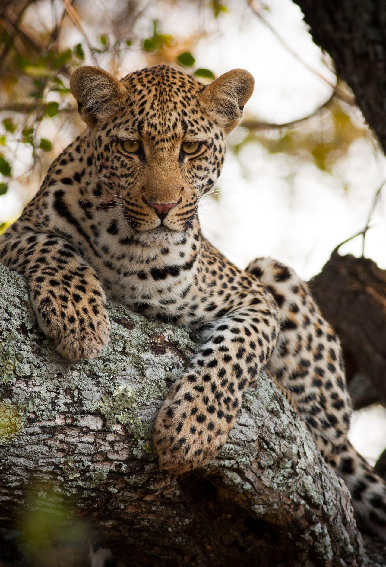 Beautiful stock photos of leopard, Alertness, Animal Themes, Animal Wildlife, Animals In The Wild