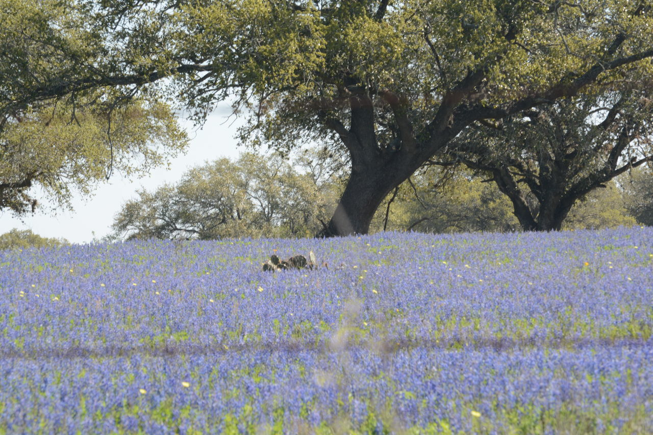 Abundance Beauty In Nature Blooming Blossom Cactus Day Field Flower Fragility Grassy Green Color Growth Landscape Nature No People Non-urban Scene Outdoors Plant Rural Scene Scenics Sky Texas Bluebonnets Tranquil Scene Tranquility Tree