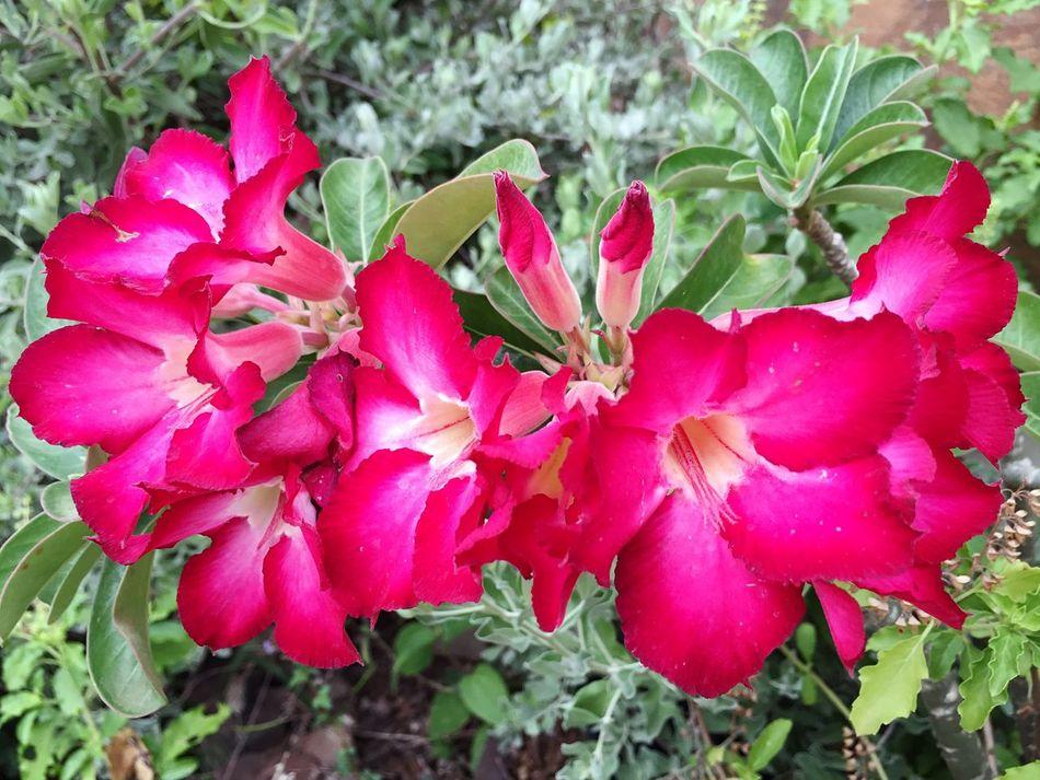 Flowers Thaiflower ชวนชม ดอกชวนชม Desertrose