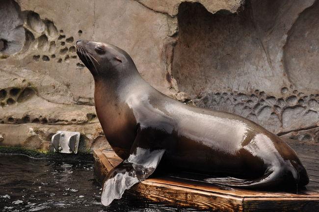 Sea Lion Aquarium Nature Sea Life Sea Lion Sea Lions Sealion  Sealions SeaLionShow Vancouver Aquarium