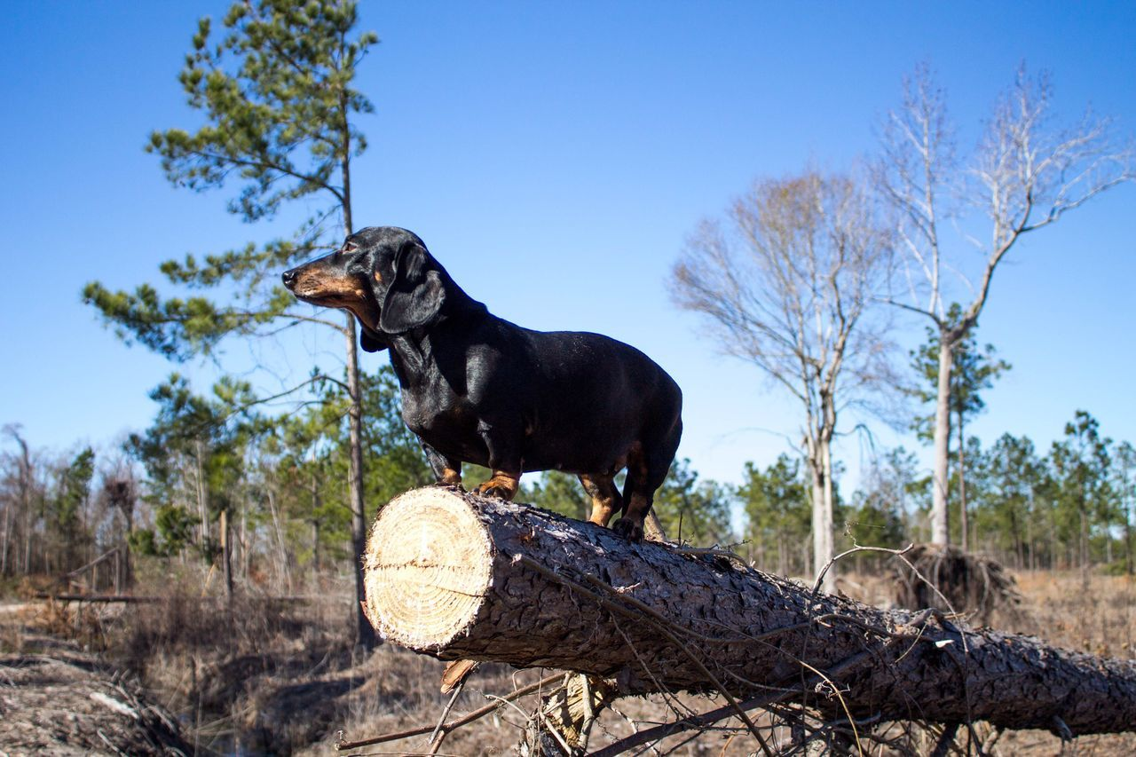 Like a Boss One Animal Tree Clear Sky Animal Themes Black Color Domestic Animals Nature Mammal Sky No People Outdoors Day Dachshund Dog Pets