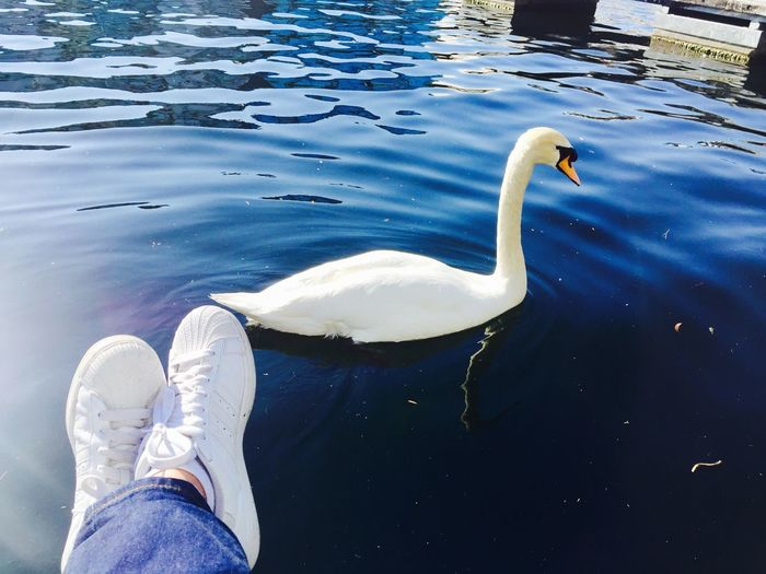 Water Lake Swan Animal Themes White Color Animals In The Wild Low Section High Angle View Day One Animal Human Leg Bird Outdoors Real People Nature Swimming One Person Human Body Part Out Of The Box