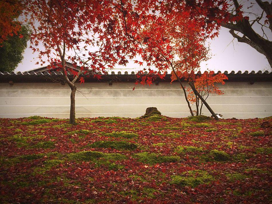 赤と緑と白🍁 Flower Growth Nature Tree Outdoors Red Plant No People Beauty In Nature Leaf Day Water City Freshness Architecture Sky 曼殊院門跡 Red Green Kyoto