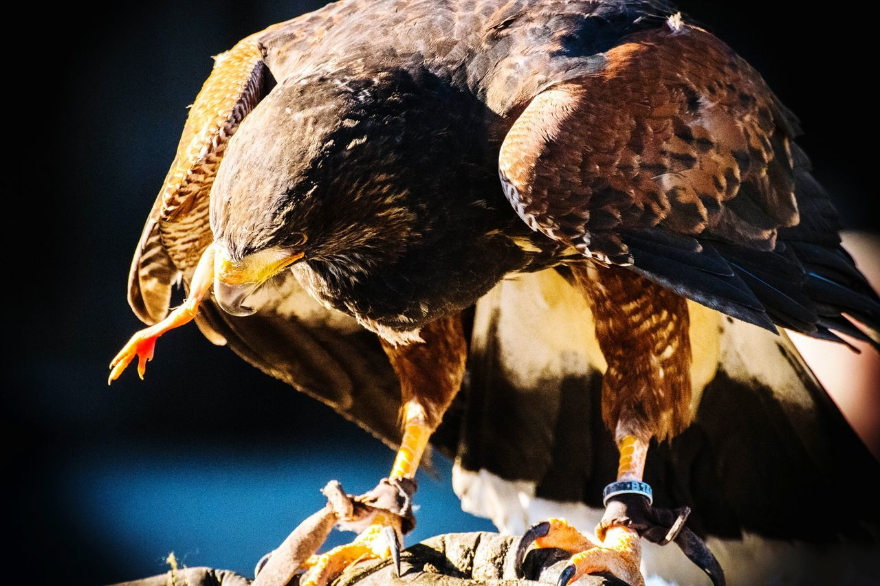 Snapshot Eagle Light And Shadow First Eyem Photo Multi Colored Animal Wildlife Animal Themes Outdoor Photography Animals In The Wild Outdoor Pictures Eyem Gallery Side View Eyem Best Shot Beauty In Nature Eaglephotography Close-up Taking Photos Portrait Enjoying Life Outdoors EyeEmBestPics Hanging Out One Animal Eyemphotos Check This Out