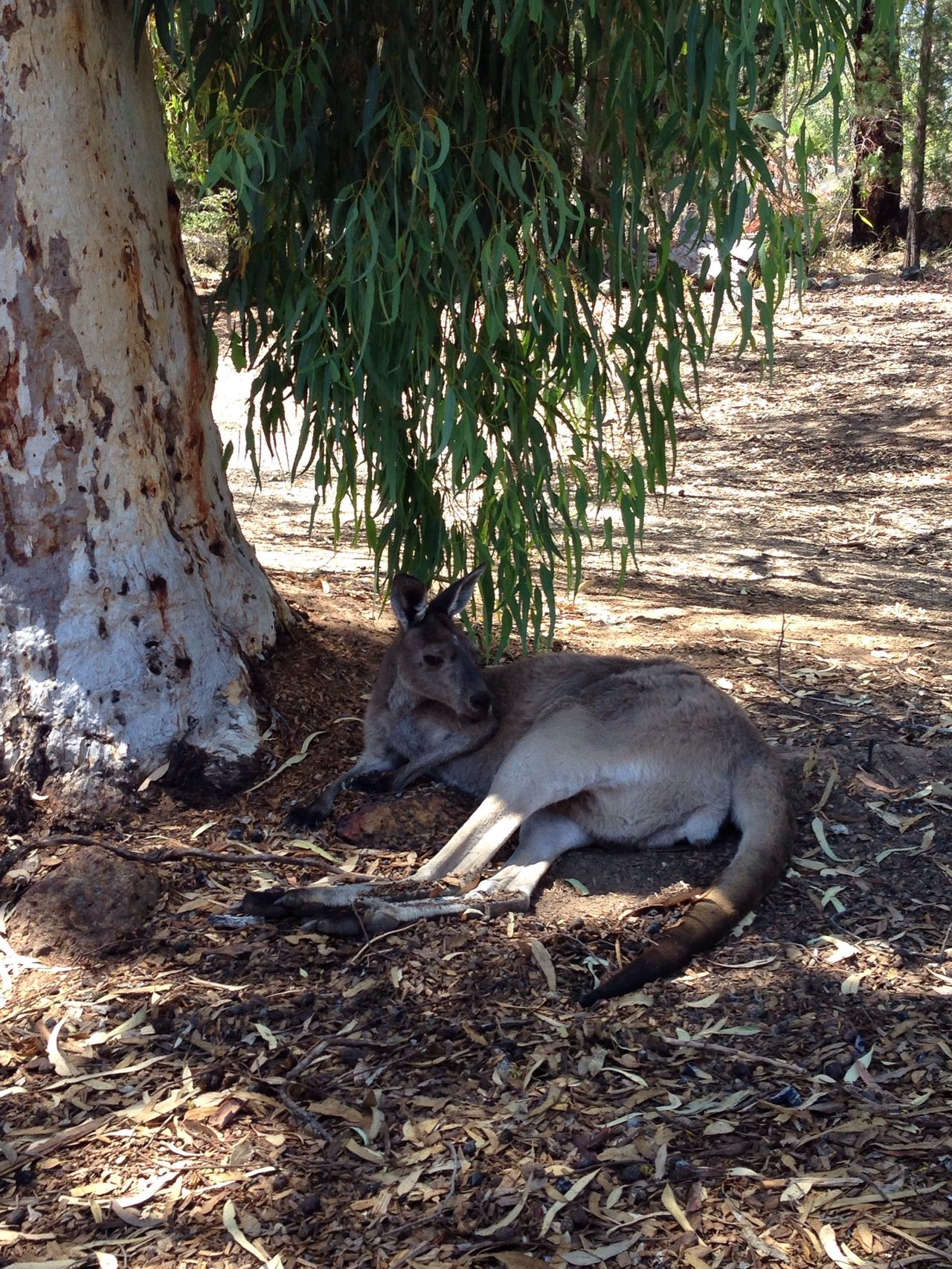 Kangaroo Wildlife