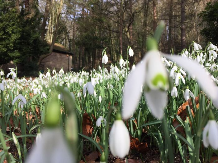 Outdoors Flower Beauty In Nature Blooming Snowdrop Growth Nature Plant Close-up