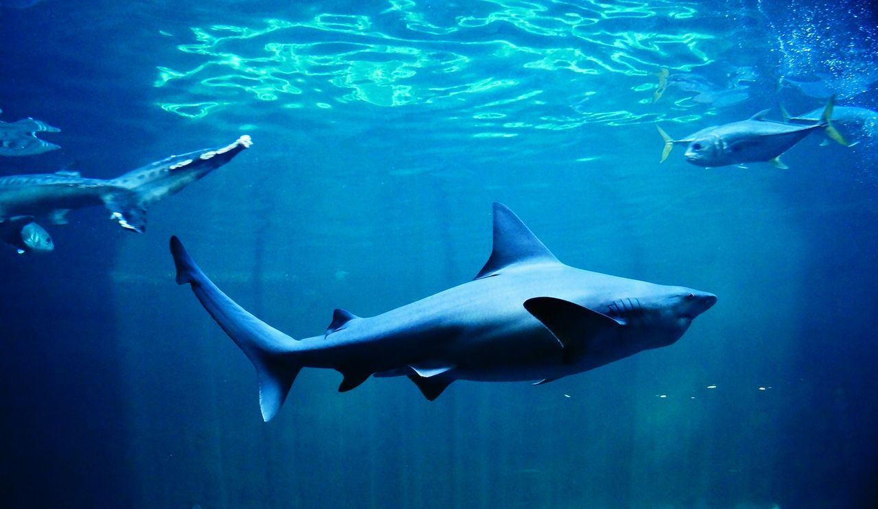 Beautiful stock photos of shark, Animal Themes, Animals In The Wild, Close-Up, Day