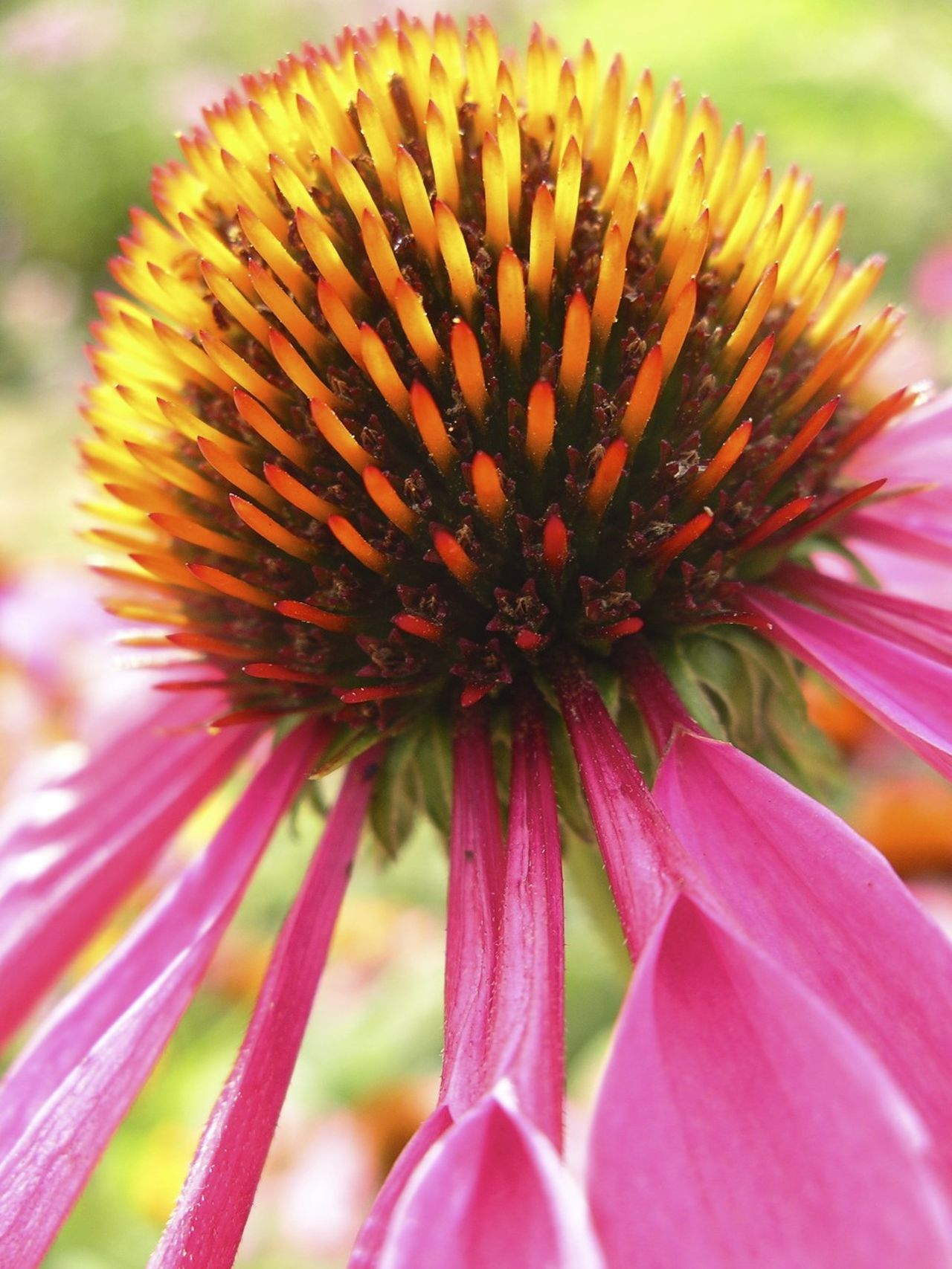 Blooming Close-up Eastern Purple Coneflower Echinacea Purpurea Flower Flower Head Nature Outdoors Petal Petals Plant Purple Purple Flower