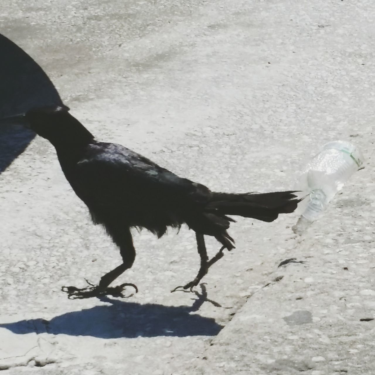 Street Photography Black Bird In The Street Nonchalantly Walking Past A Plastic Bottle. Hello World Recycle These The Great Outdoors Nature Photo Sun And ShadowOpen Edit The Week On EyeEm