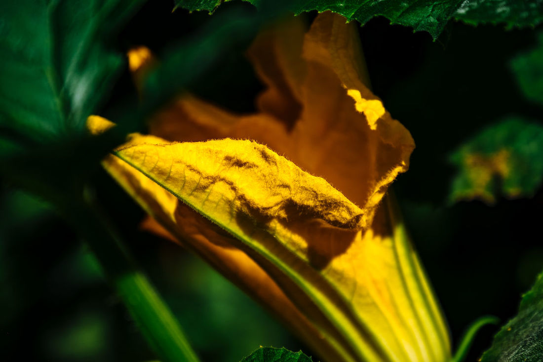 Autumn Beauty In Nature Change Close-up Day Focus On Foreground Fragility Green Color Growth Leaf Leaf Vein Leaves Natural Pattern Nature No People Orange Color Outdoors Plant Season  Selective Focus Tranquility Yellow Zucchini Flower Zuchetti Zuchinni