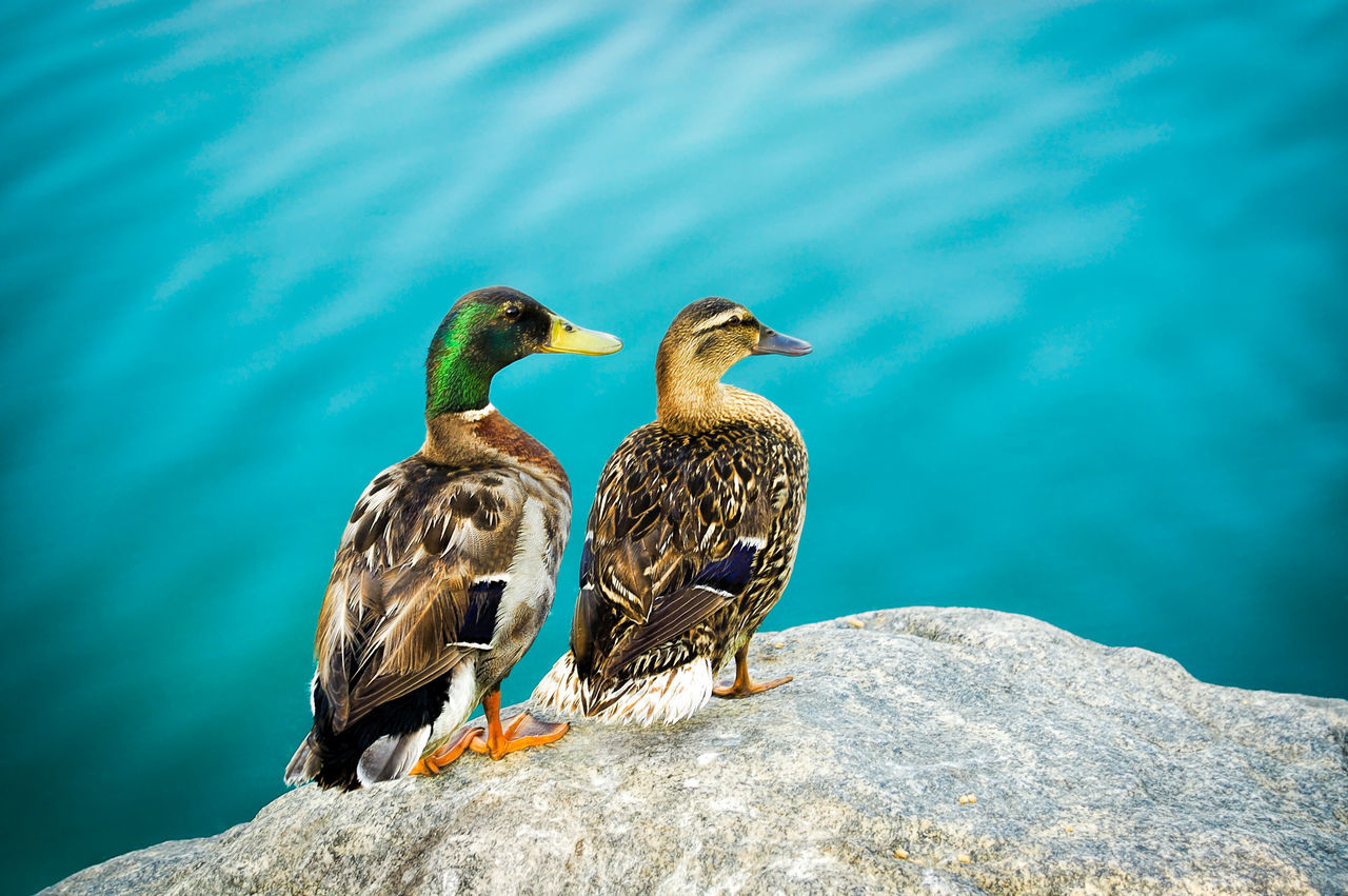 Beautiful stock photos of duck, Animal Themes, Animals In The Wild, Bird, Day