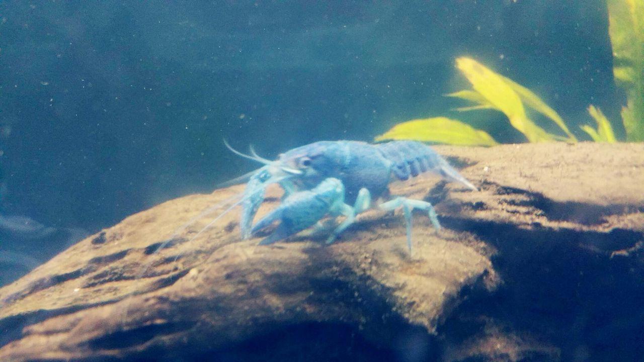 Aquarium Underwater Sea Life Nature Animal Wildlife Water Animal Themes Blue Lobster First Eyeem Photo