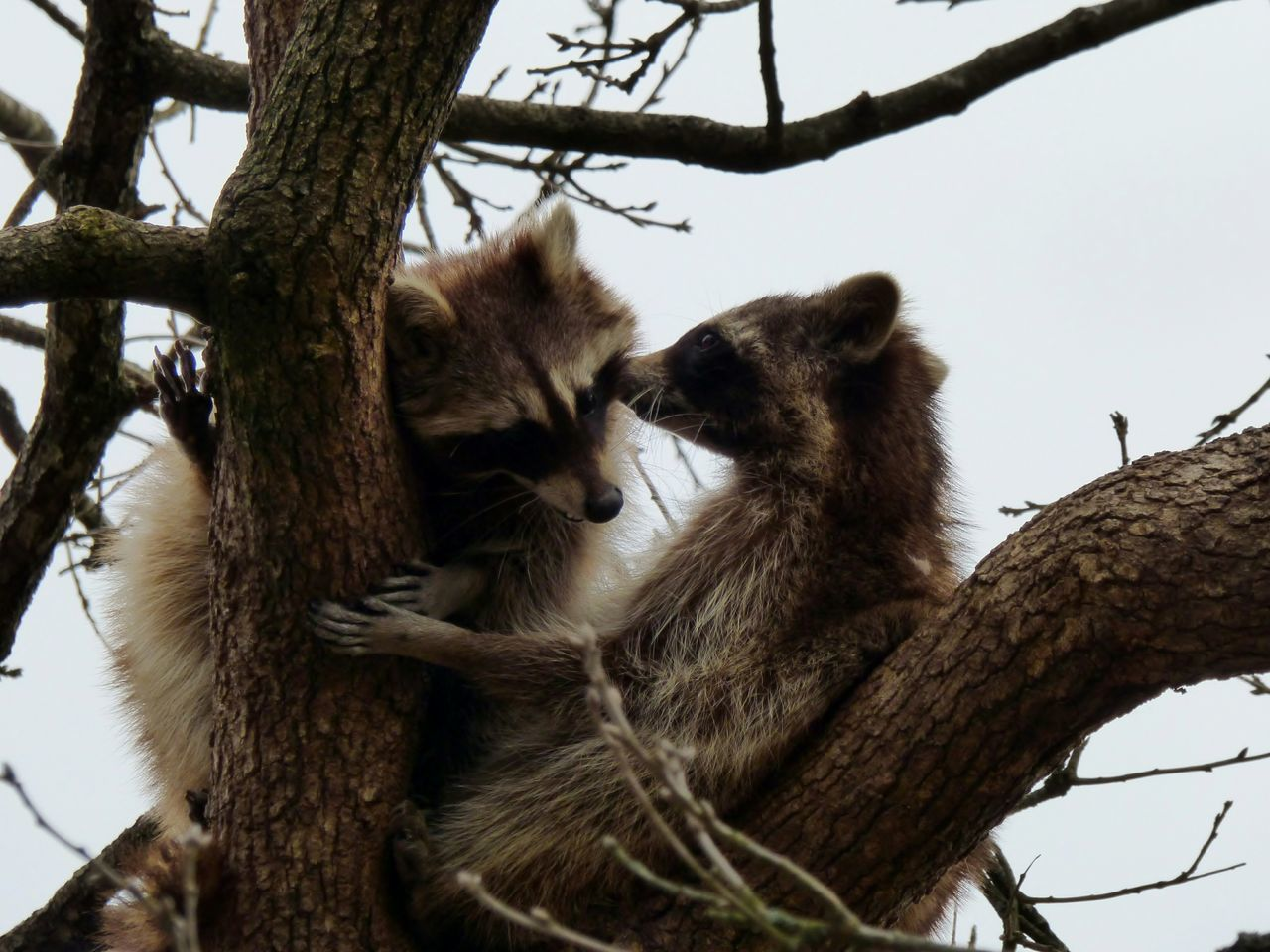 Beautiful stock photos of raccoon, Animal Themes, Animals In The Wild, Branch, Carnivora