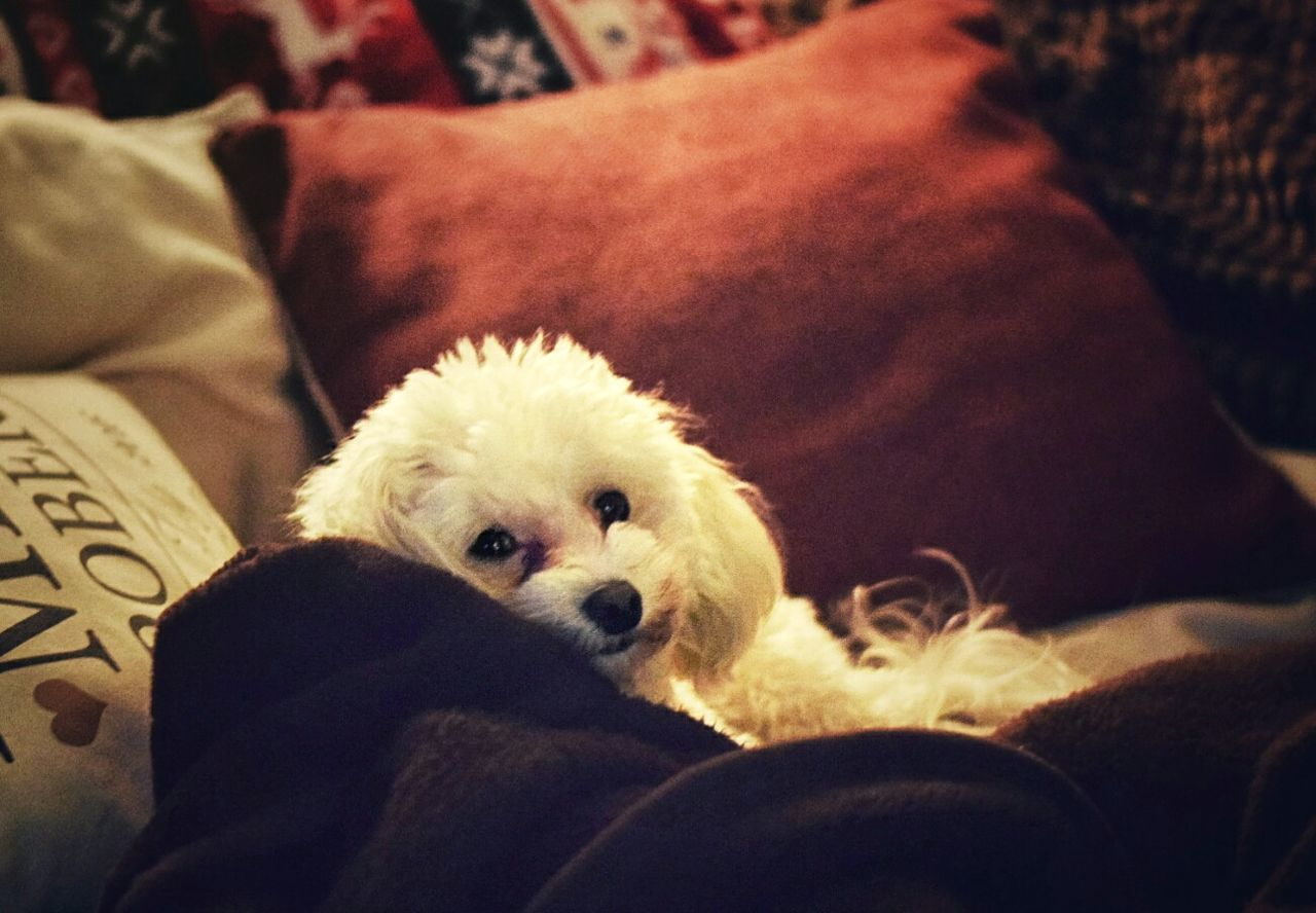 Alfie relaxing Bichon Bichonfrise Bichonmix Poodlemix Bear Fluffy Fluffy Dog White Cute Pet Photography  Dog Photography Dogs Of EyeEm EyeEm Gallery EyeEm Best Shots