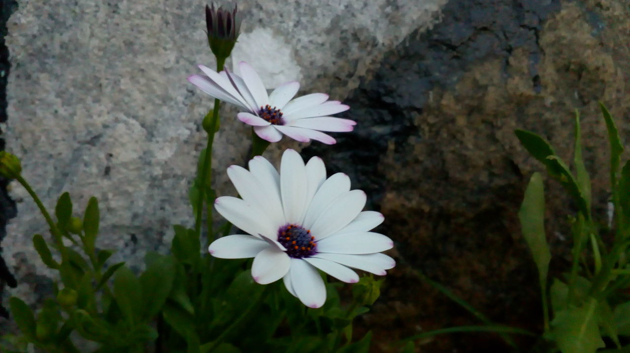 flower, white color, petal, fragility, flower head, nature, freshness, beauty in nature, growth, no people, day, close-up, outdoors, plant, blooming, osteospermum