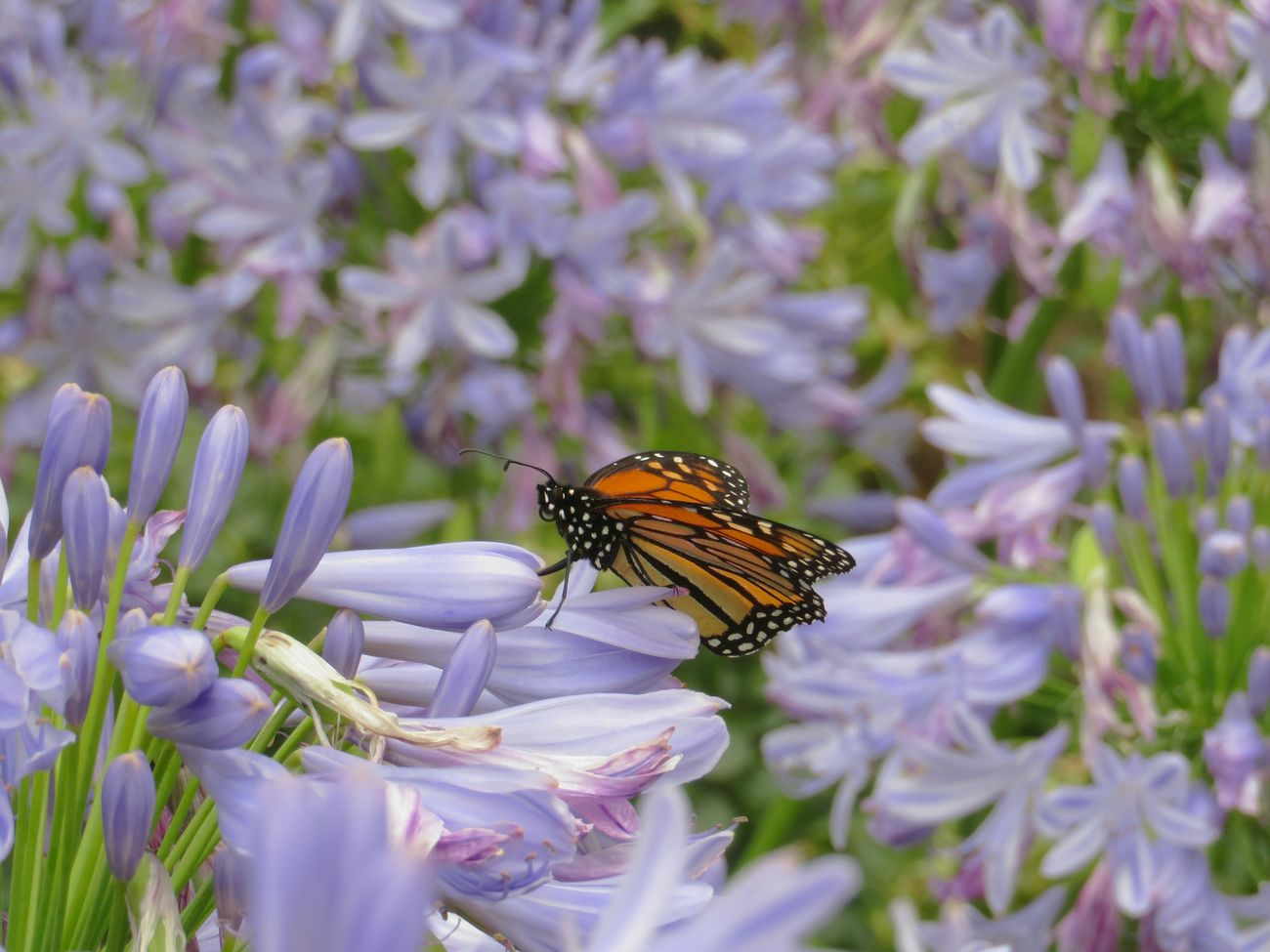 Agapanthus Flower Nature Beauty In Nature Butterfly Monarch Butterfly Insect Animals Animals In The Wild Growth Freshness Pollination Flower Head Blooming Purple In My Garden