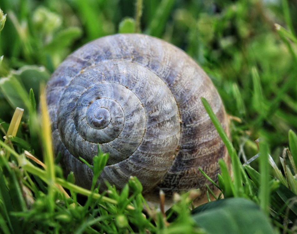 One Animal Close-up Animal Themes Grass Nature Outdoors Green Color Snail Snail🐌 Snail Collection Snailshell Snail Shell Snails Snails🐌 Snail Photography Snail ❤ Snail Shells Snail Shell Close Up Snail Closeup Snail On Grass Macro Macro Photography Macro_collection Popular Popular Photos