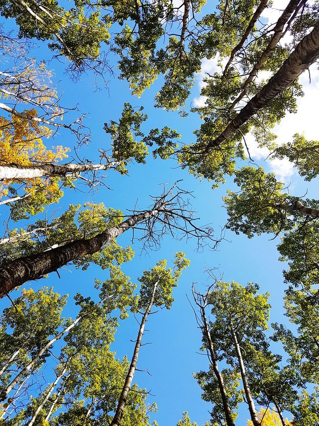 A breathtaking view from the forest floor in Elk Island National Park. Low Angle View Tree Branch Blue Sky Tranquility Treetop Beauty In Nature Nature Outdoors Cloud Peaceful Fall Seasons Leaves forest