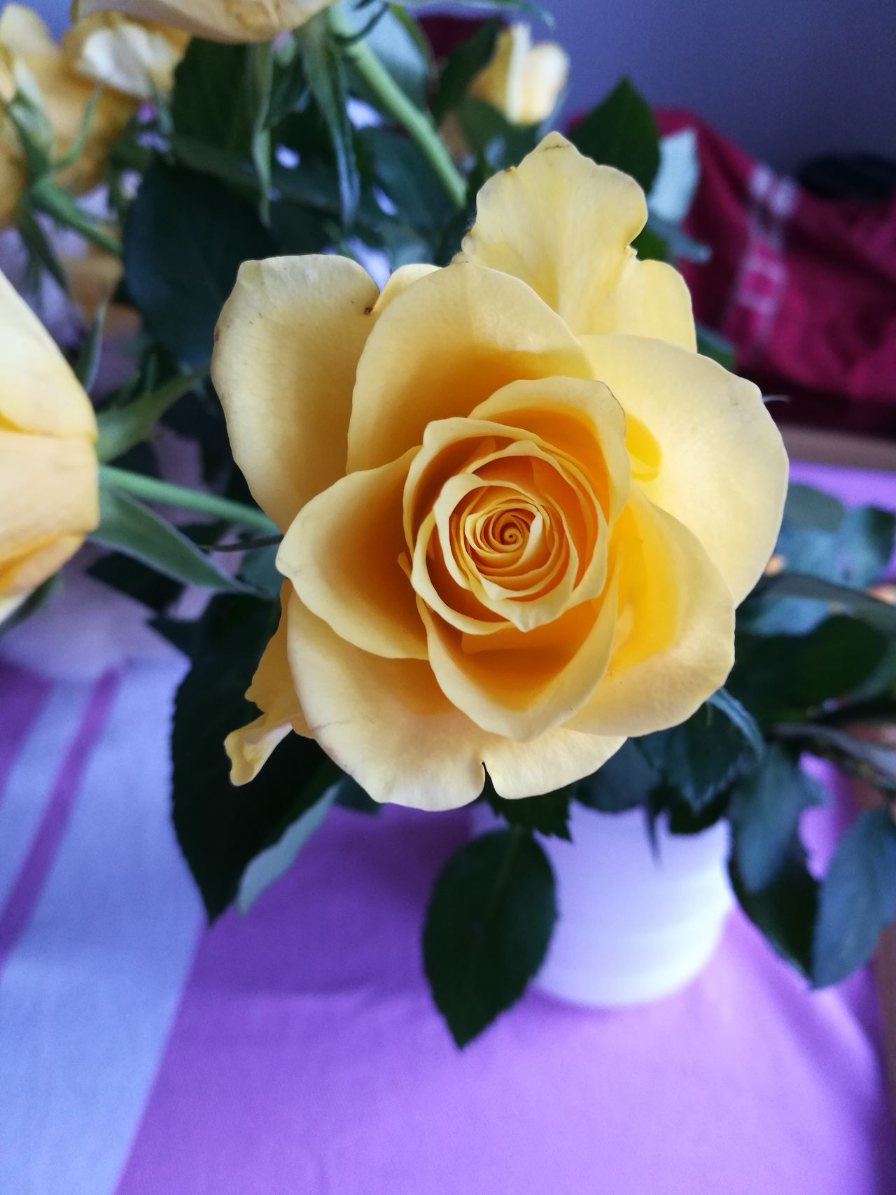 Flower Beauty In Nature Nature Petal Fragility Flower Head Freshness Close-up Growth Plant No People Day Spiral Birthday Flowers Roses Yellow Rose Friendship Crisp Pink Tablecloth Stripes Beautiful Nottinghamshire No Filter, No Edit, Just Photography Daylight Photography