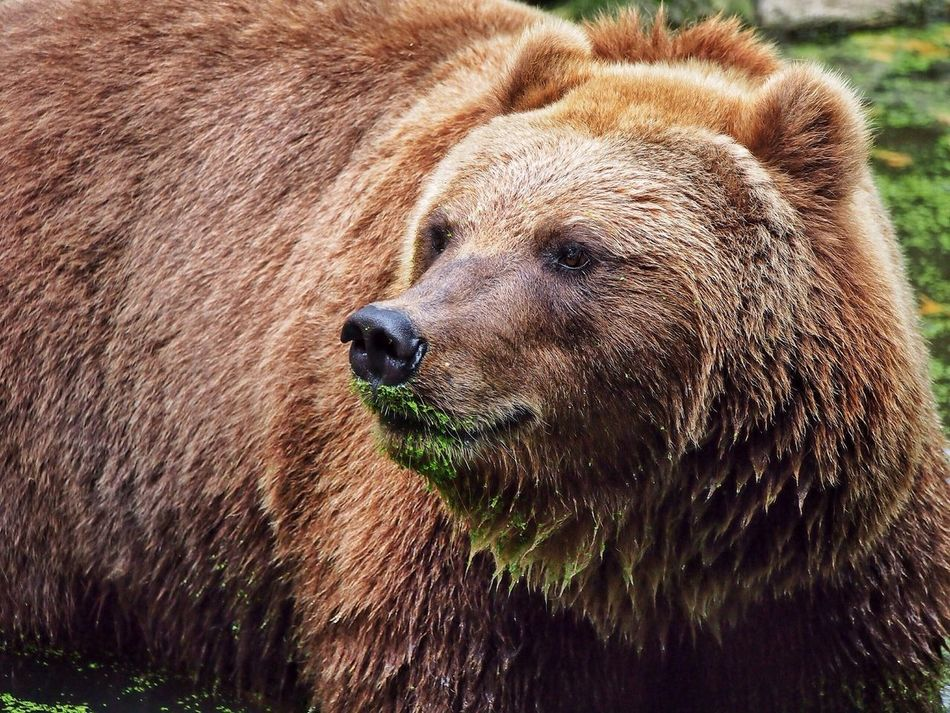 Beautiful stock photos of bear, Animal Hair, Animal Themes, Animals In The Wild, Bear