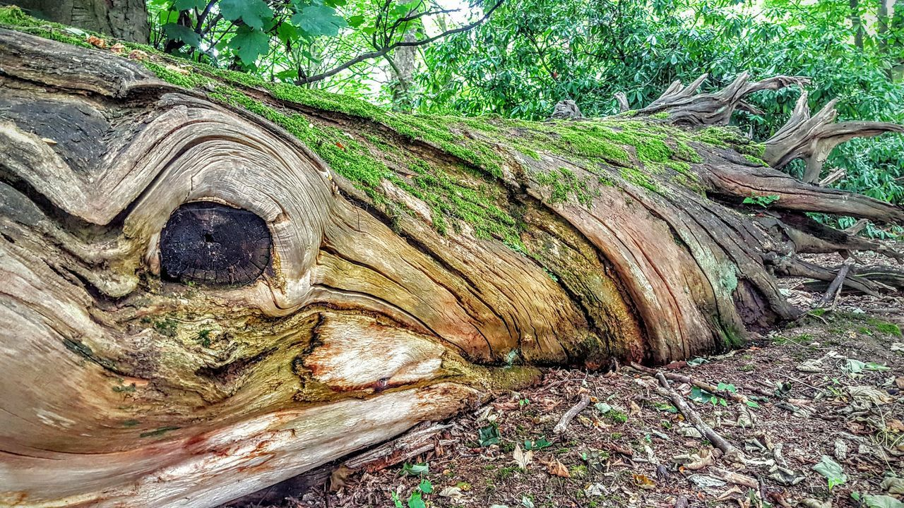 Old Tree Unusual Find Different Character Fallen Tree Twisted Moss & Lichen Old Forest Big Eye @ Aston