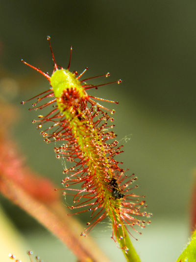 Animals In The Wild Botany Carnivorous Plant Close-up Drops Drosera Eating Growing Insect Insects  Learning Night Plant Plant Sunderland Wildlife