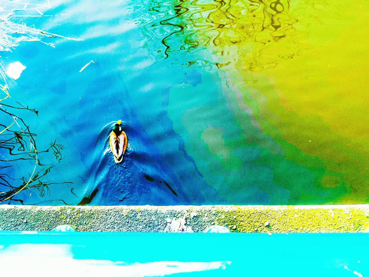 The World is a Colourful Place Water Animal Themes Swimming Pool High Angle View Animals In The Wild Outdoors One Animal Day Swimming No People Refraction Floating On Water Nature EyeEmNewHere Fresh On Eyeem  Something Different Colour Of Life Colorsplash EyeEmNewHere