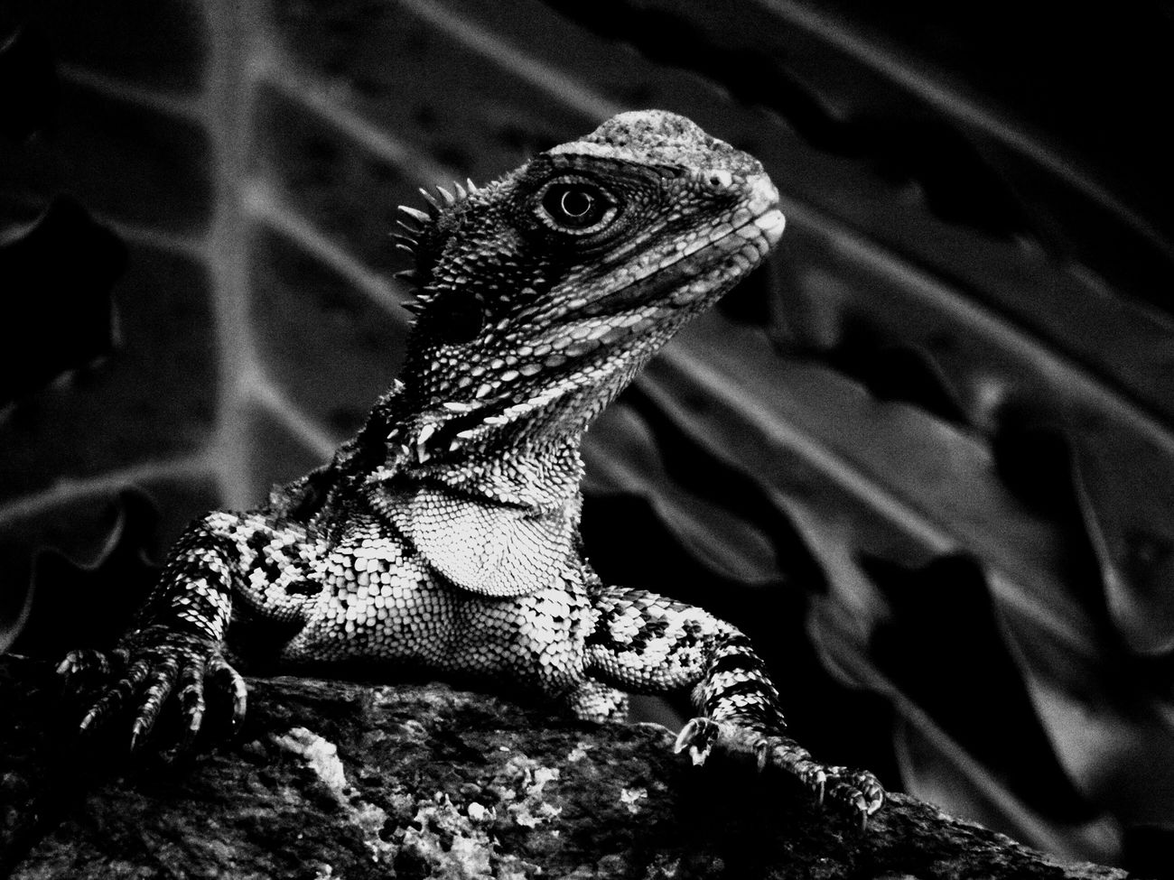 One Animal Reptile Animal Themes Bearded Dragon Lizard Animal Wildlife Animals In The Wild Nature No People Close-up Iguana Outdoors Blackandwhite Bearded Dragon Coldblooded Photography