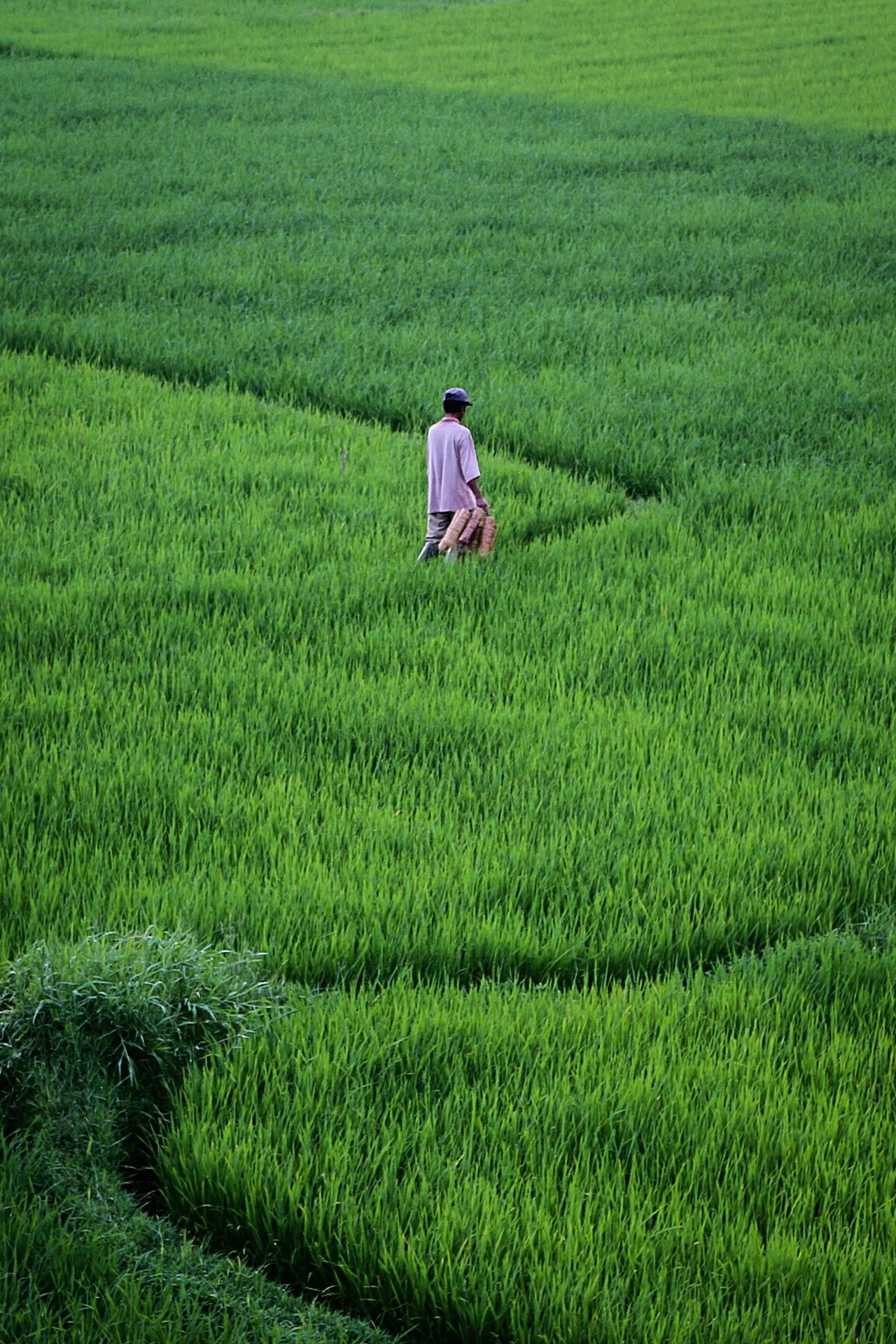 A farmer in green... Agriculture Farm Crop  Nature Rice Paddy Humaninterest Photography Wonderfulindonesia Live For The Story