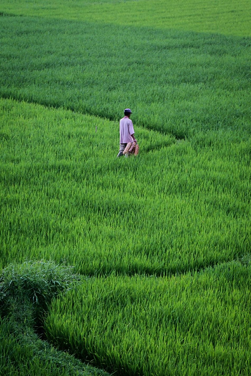 A farmer in green... Agriculture Farm Crop  Nature Rice Paddy Humaninterest Photography Wonderfulindonesia