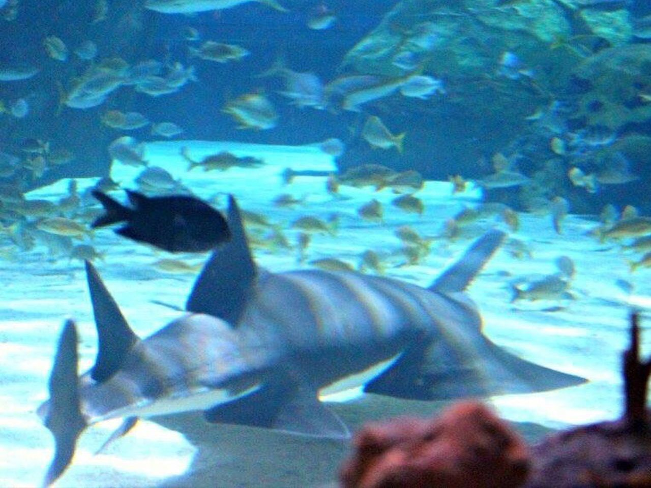 Sawfish Aquarium Fish Water Animals In Captivity Underwater Swimming Close-up