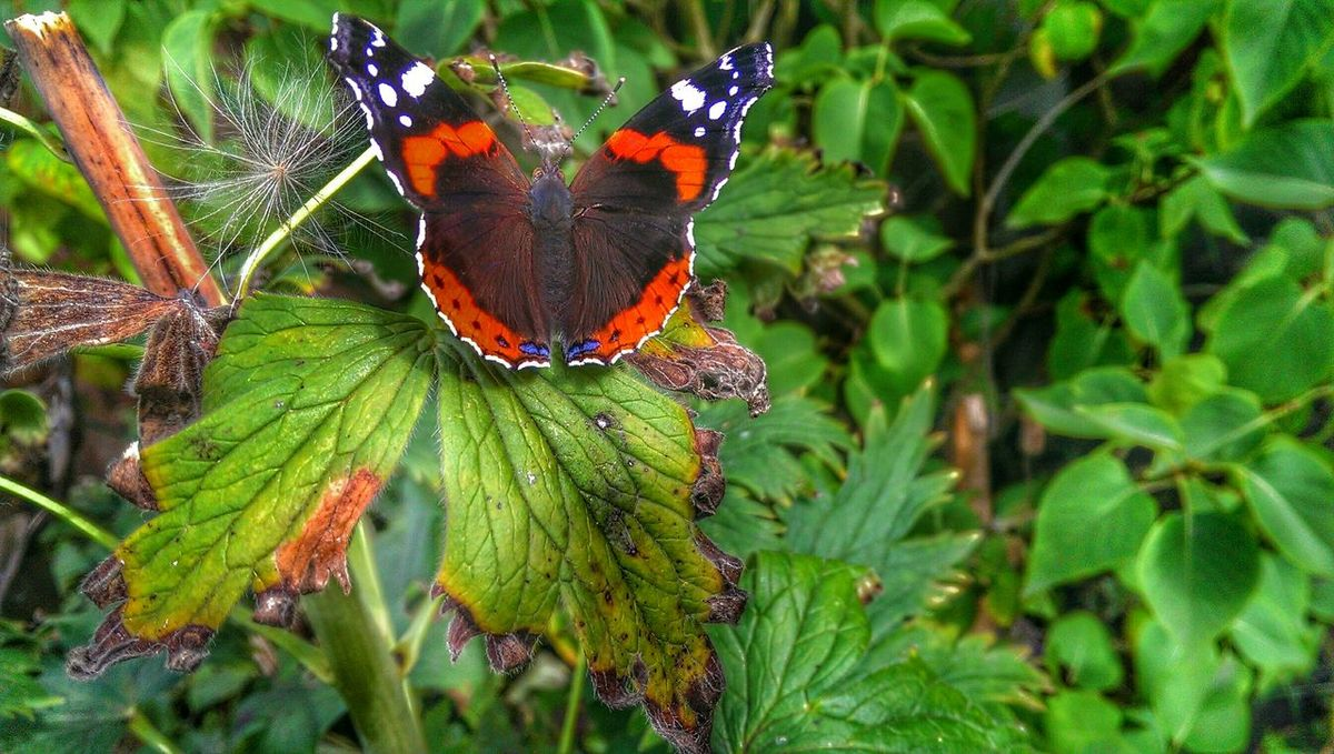 Butterfly ❤ Red Admiral Butterflies Beautiful Nature #rose #beauty #nature #flower #love #eyeem #sun Summer Visitor Nature Photography