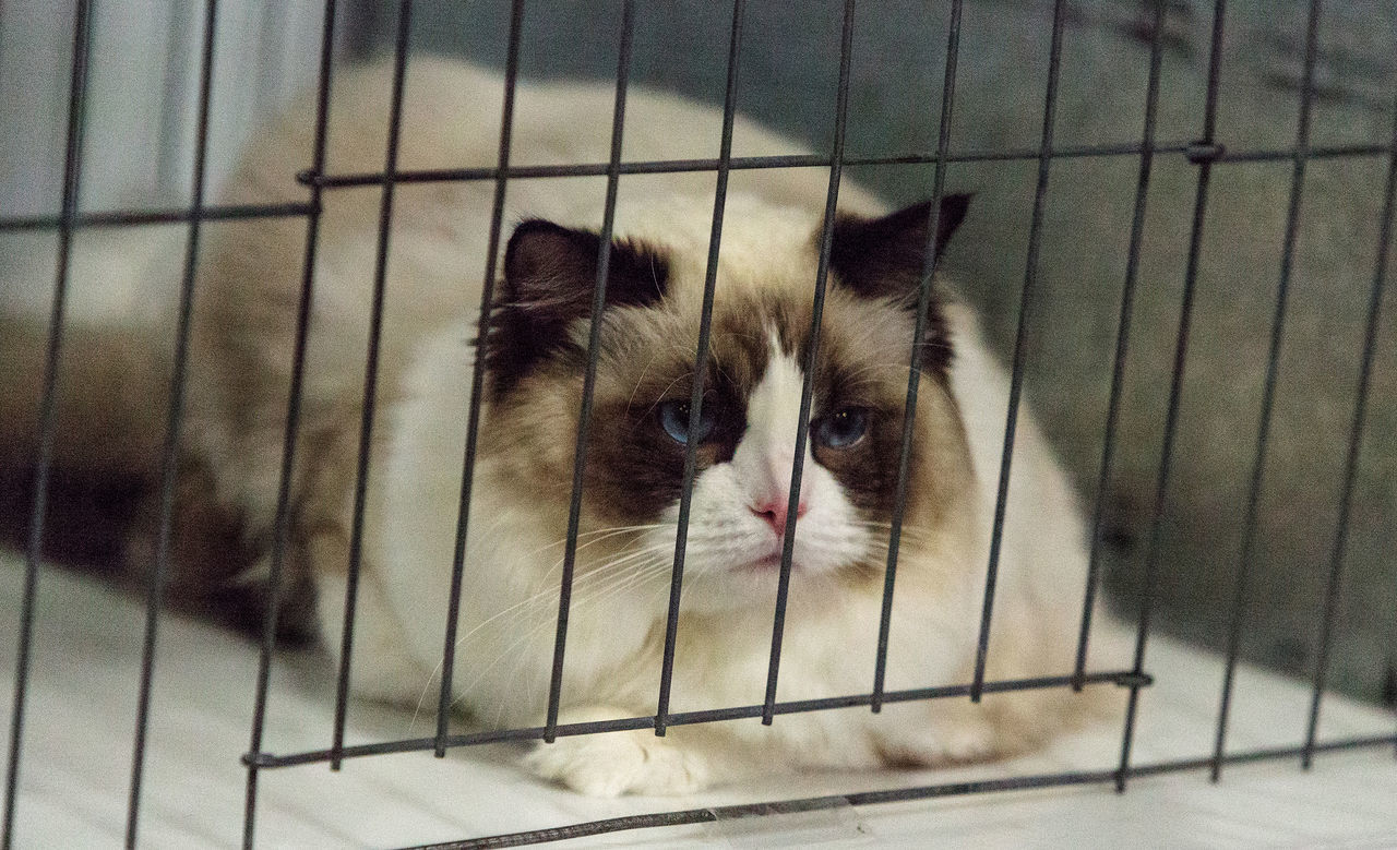 Birman purebred cat with beautiful markings and blue eyes Animal Themes Birman  Birman Cat Cage Close-up Day Domestic Animals Domestic Cat Feline Indoors  Mammal No People One Animal Pets Portrait Whisker