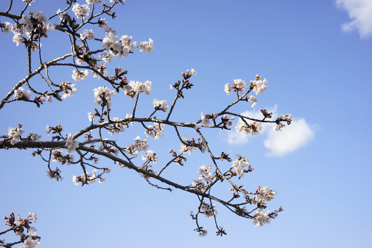tree, flower, branch, beauty in nature, growth, nature, low angle view, blossom, fragility, day, springtime, blue, freshness, no people, apple blossom, outdoors, sky, clear sky, blooming, flower head, close-up